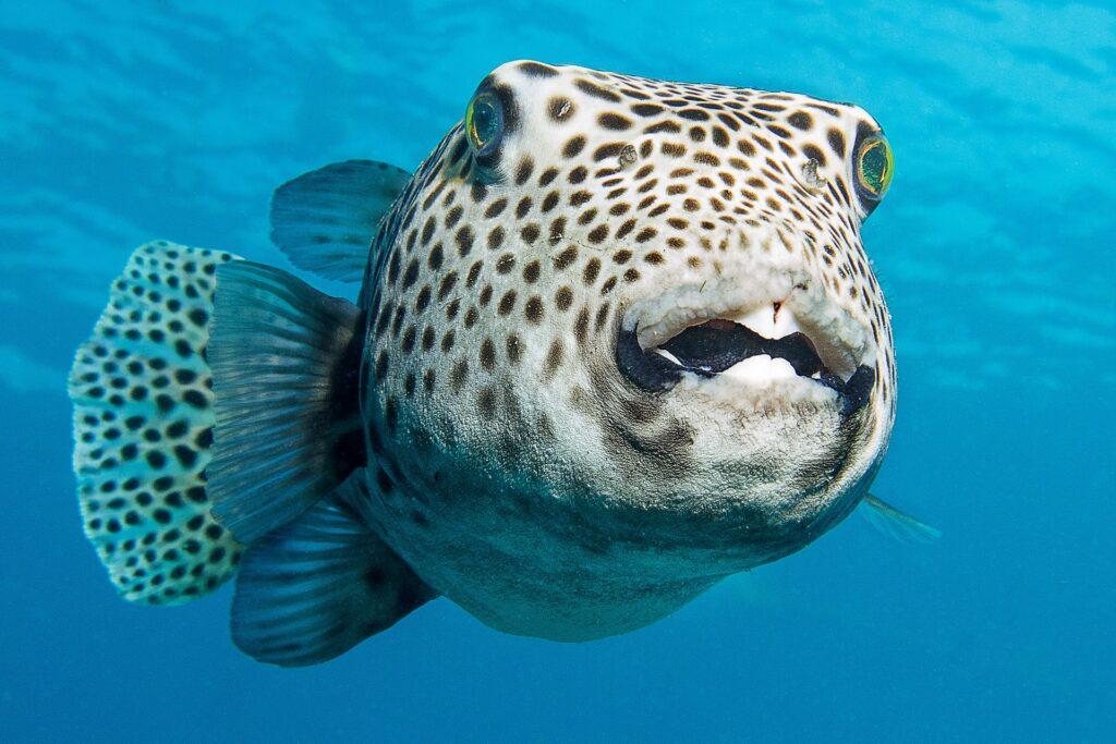 Лайфхаки / Рыба фугу