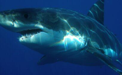Лайфхаки / Большая белая акула